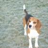 beagles 2007 (1)