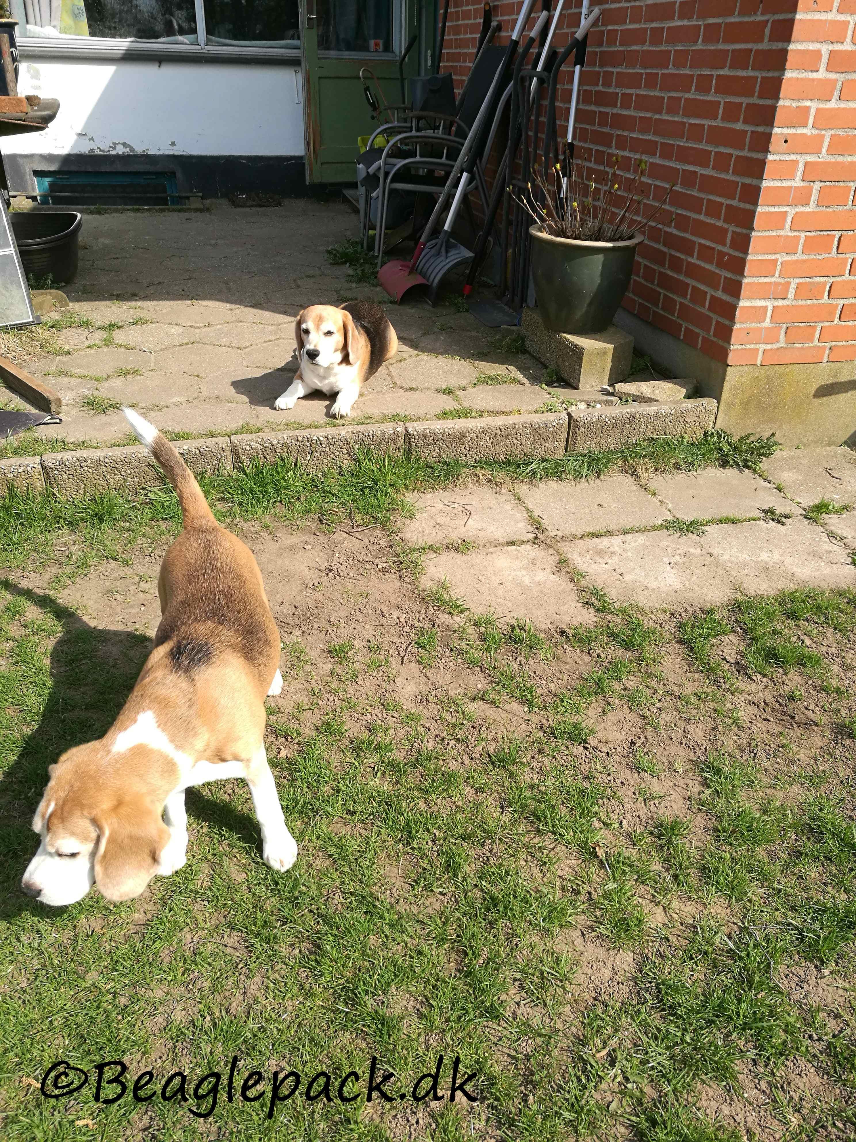 En ny beagle?